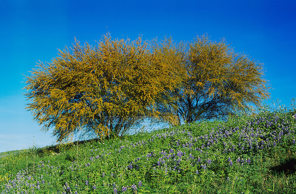 Texas Bluebonnet, Lupinus texensis and Huisache tree, Acacia farnesiana, blooming, San Antonio,Texas, USA