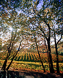 USA, California, Landscape of the vines at Boeger Winery in Placerville, Gold Country