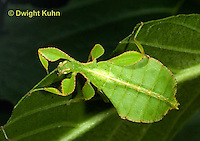 OR14-508z  Leaf Insect female, Phyllium spp., Phillipines