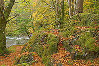 Beech trees and leaves along the River Coe, Scotland