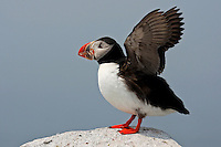 Atlantic Puffin with Shrimp - Wings Extended #P26