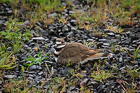 Killdeer sitting on eggs in Clark County, Washington