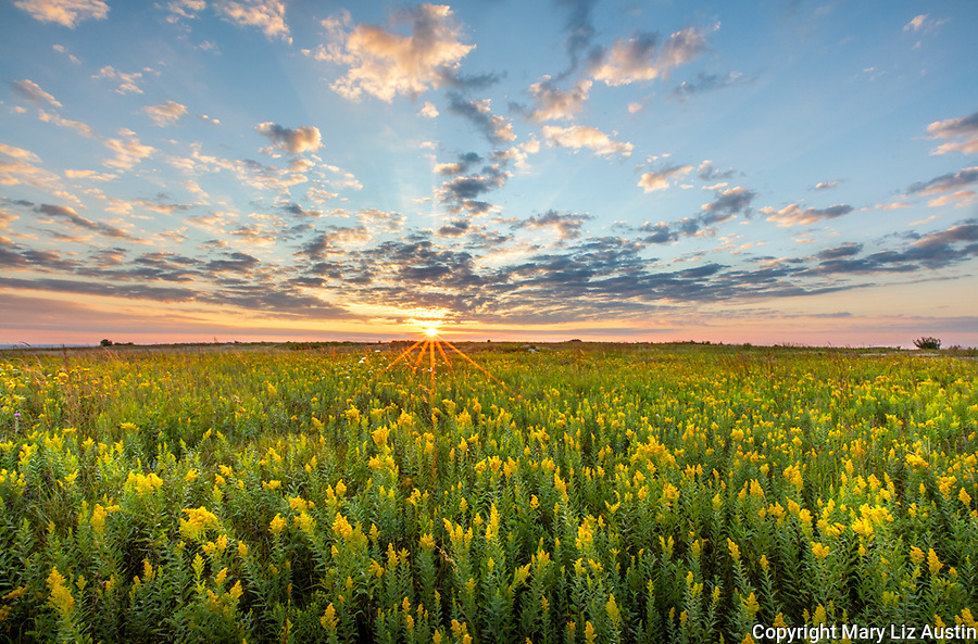 Blue Mound State Park, Minnesota: Field of goldenrod (Solidago speciosa) at sunrise in summer