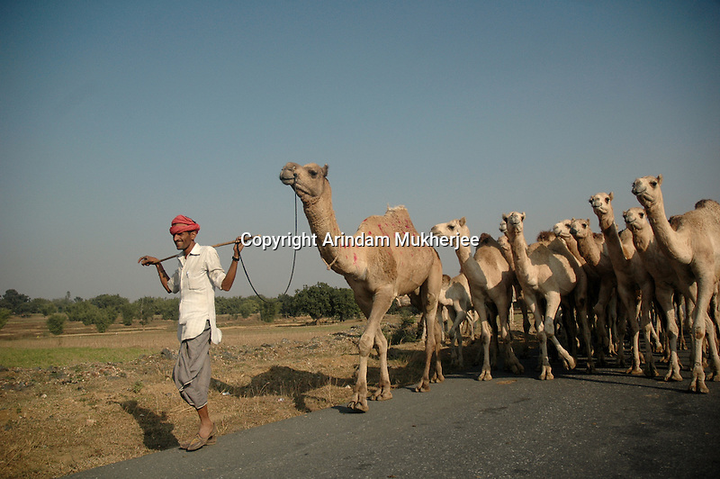 A camel owner returns back home from Sonerpur fair. Bihar, India, Arindam Mukherjee