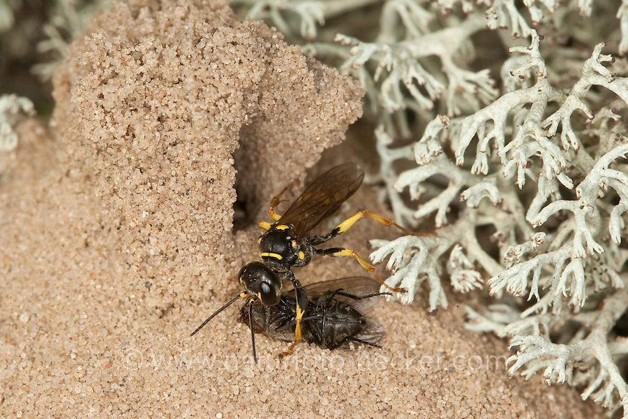 Kotwespe, Mellinus arvensis, trägt erbeutete Fliege in ihren Bau, Nest ein, Nesthaufen aus Sand zwischen Rentierflechten, Grabwespe, field digger wasp