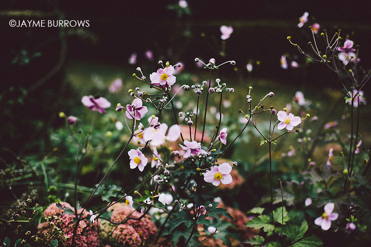 Cosmos in a garden with shallow depth of field.
