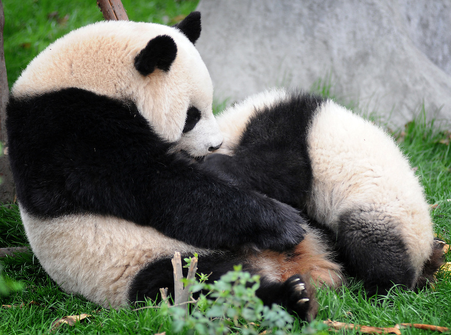 MOTHER AND BABY PANDA PLAYING AT THE CHENGDU PANDA BREEDING AND RESEARCH CENTRE, SICHUAN, CHINA. 14/3/13. PICTURE BY CLARE KENDALL 07971 477316