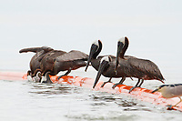 Adult Brown Pelicans feeding on fish trapped by an oil boom. Mobile County, Alabama. July 2010.