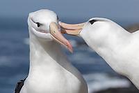 Black-browed Albatross - Thalassarche melanophris