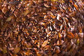 Autumn leaves abstract, Stoke Wood, Oxfordshire