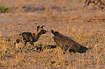 A Hooded Vulture has an encounter with a Wild Dog, Kwando, Botswana
