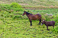 Irish horse and donkey turn their backs to the wind in County Clare, West of Ireland