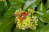 Hornet Mimic Hoverfly - Volucella zonaria. The largest UK hoverfly.