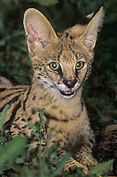678054012 a captive serval kittne felis serval studies its surroundings at a wildlife rescue facility species is native to africa the white phase is a genetic abnormality condition