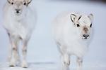 Norway, Svalbard, Svalbard reindeer (Rangifer tarandus platyrhynchus),