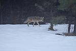 coyote wandering around in Yosemite National Park