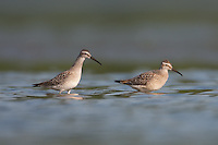 Stilt Sandpipers (Calidris himantopus), East Pond, Jamaica Bay Wildlife Refuge