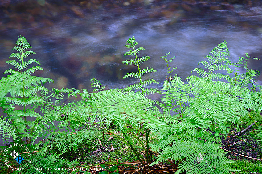 The ferns of the redwood forest floor with a stream meandering in the background at Muir Woods State Park