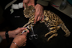 Black-footed Cat (Felis nigripes) biologist, Beryl Wilson, and veterinarian, Birgit Eggers, administering additional sedative during collection of sperm for artifical insamination in captive population, Beryl Wilson, Benfontein Nature Reserve, South Africa