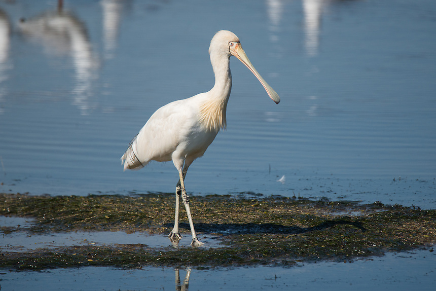 Yellow-billed Spoonbill. Western Treatment Plant, Victoria.
