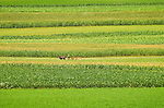 Fields with corn and alfalfa and Amishman mowing hay. Sugar Valley, Clinton County, PA