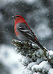 Pine Grosbeak<br /> This flashy guy didn't seem to mind the snowstorm after having a snack at our feeder.<br /> Coal Creek Canyon, Colorado