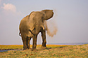Elephant bull dusting himself on Chobe River flood plain, Botswana