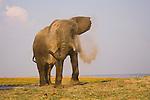 Elephant bull dusting himself on Chobe River flood plain, Botswana