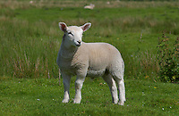 Texel cross lamb.