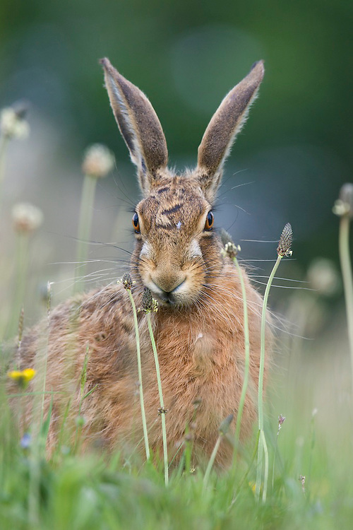 Brown hare (Lepus europaeus)  eating a grass seed head in a cemetery in  England