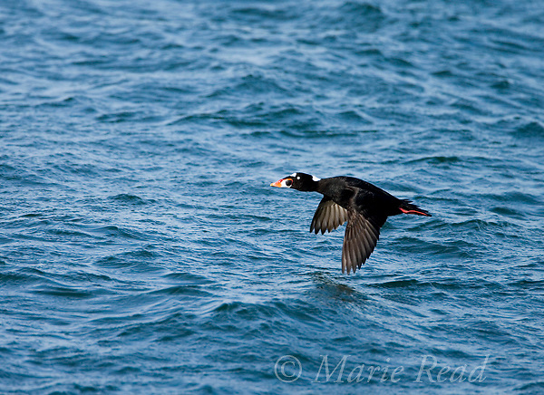 Surf Scoter (Melanitta perspicilllata) male in flight, Barnegat Inlet, New Jersey, USA