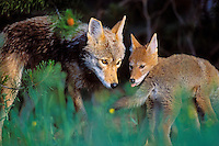 Wild coyotes--mother with young pups near den.   Western U.S.,  June.