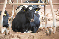 Dairy Cow on sand beds<br />