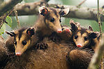 Common Opossum (Didelphis marsupialis) joeys on mother, Tortuguero National Park, Costa Rica