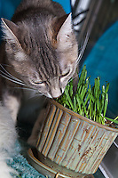 Lucca sniffs a pot filled with newly germinated (and nibbled on) oat grass (tack oats; Avena sativa).