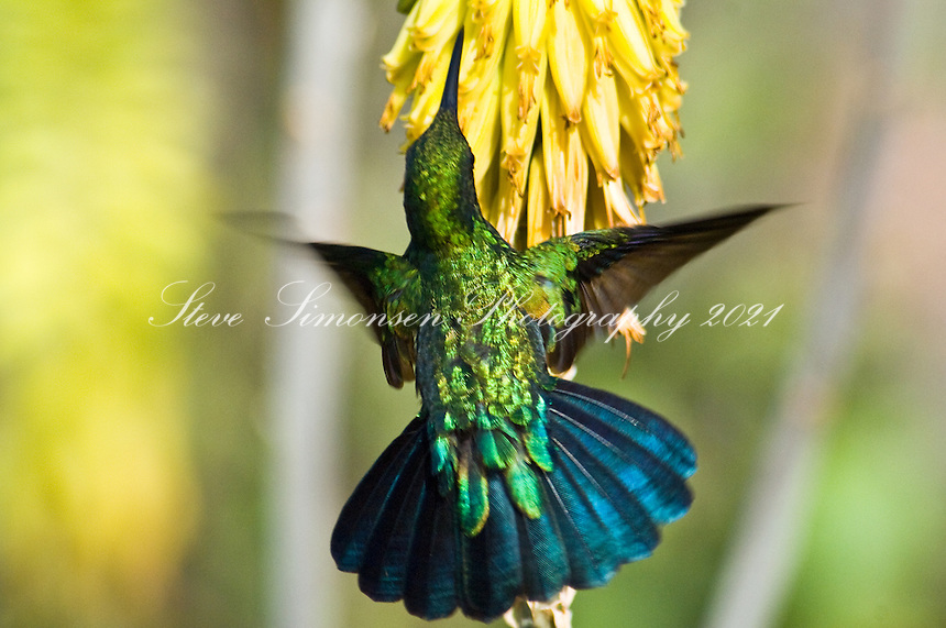 Green-throated Carib Hummingbird Green-throated Carib Hummingbird<br /> St. John, U.S. Virgin Islands