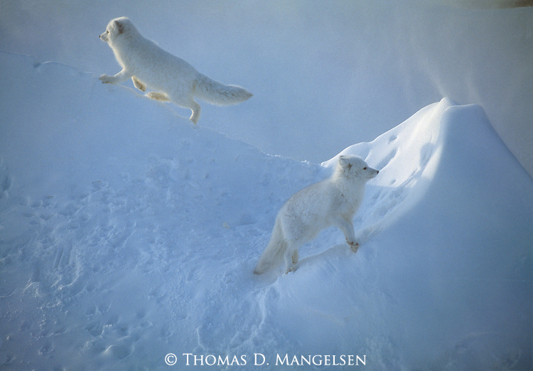 A pair of Arctic Foxes walk along a steep snow bank in Canada.