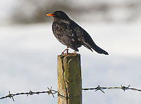 Male Blackbird (Turdus merula) on a fence post with barbed wire.