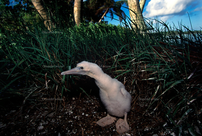 "A baby booby waits for its mother. The largest purchase to date for the Nature Conservancy is the Palmyra an atoll situated about 300 miles north of the equator.  Palmyra has five times as many coral species as the Florida Keys and three times as many as Hawaii.  It is home to the world's largest invertebrate, the rare coconut crab, and a population of red-footed booby birds second only to that of the Galapagos.  It is the last marine wilderness area left in the U.S. tropics and is home to the last remaining stands of Pisonia grandis beach forest in the world.  Palmyra was a US Navy supply base in World War II, the site of a proposed nuclear waste dump, an unsuccessful coconut plantation and of various development schemes.  Palmyra is most famous for the 1974 slaying  of a married couple which became the subject of the best-selling book ""And the Sea Will Tell,"" by Vincent Bugliosi."