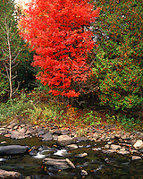 Maple tree in fall color along a stream near Keyser Pond, VT