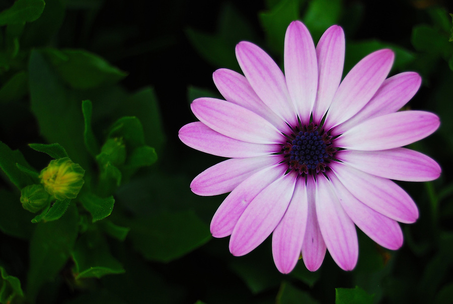 macro photography of a single beautiful purple daisy in focus with, Beautiful flower