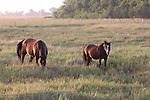 MANITOBA; HORSES FORAGING IN THE  FEILD, MANITOBA, CANADA