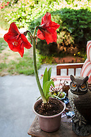 After the wind sent this amaryllis plant crashing to the gournd, it was quickly and gently repotted and moved to a safer spot on the patio under the watchful eye of Hoot the Owl.