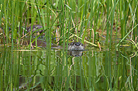 Northern River Otter (Lontra canadensis) swimming through grass along edge of lake.  Western U.S., summer..