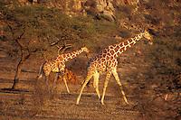 Reticulated Giraffes (Giraffa camelopardalis) Samburu National Reserve, Kenya.
