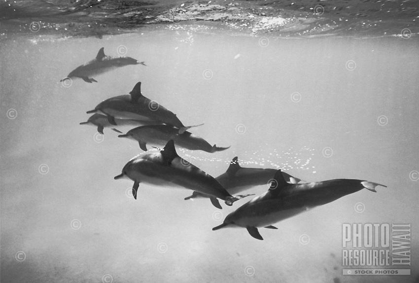Spinner Dolphins at Kealakekua Bay