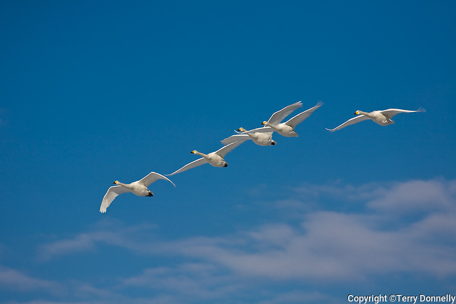 Hokkaido, Japan<br /> Whooper Swans (Cygnus cygnus) flying in a  formation over Lake Kussharo, Akan National Park