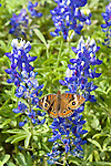 Buckeye on Bluebonnets