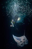 Douglas Seifert photographs reef manta rays, Manta alfredi, feeding on plankton attracted by lights placed by divers at night among Hawaiian flagtail or aholehole, Kuhlia xenura ( endemic species), schooling in Makako Bay, Keahole, Kona, Hawaii Island ( the Big Island ), Hawaii, USA ( Central Pacific Ocean ) MR 474