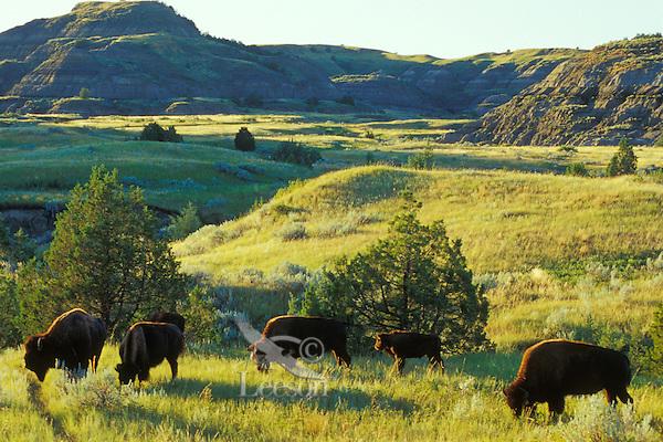 American Bison feeding.  Theodore Roosevelt National Park, North Dakota.  Summer.